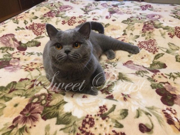 Sweet-beast com   British Shorthair   Kittens