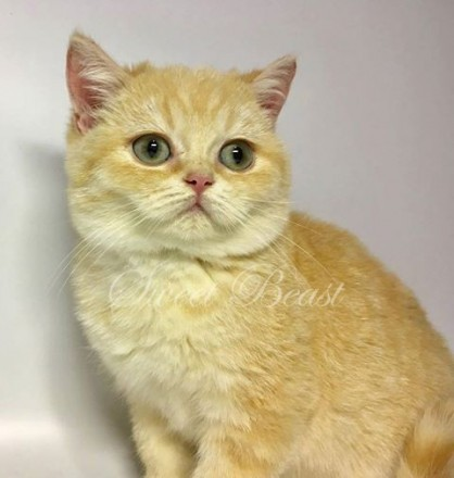 Sweet-beast com | British Shorthair | Golden Moris