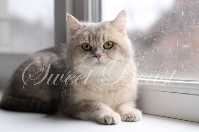Sweet-beast com | British Shorthair | Kittens