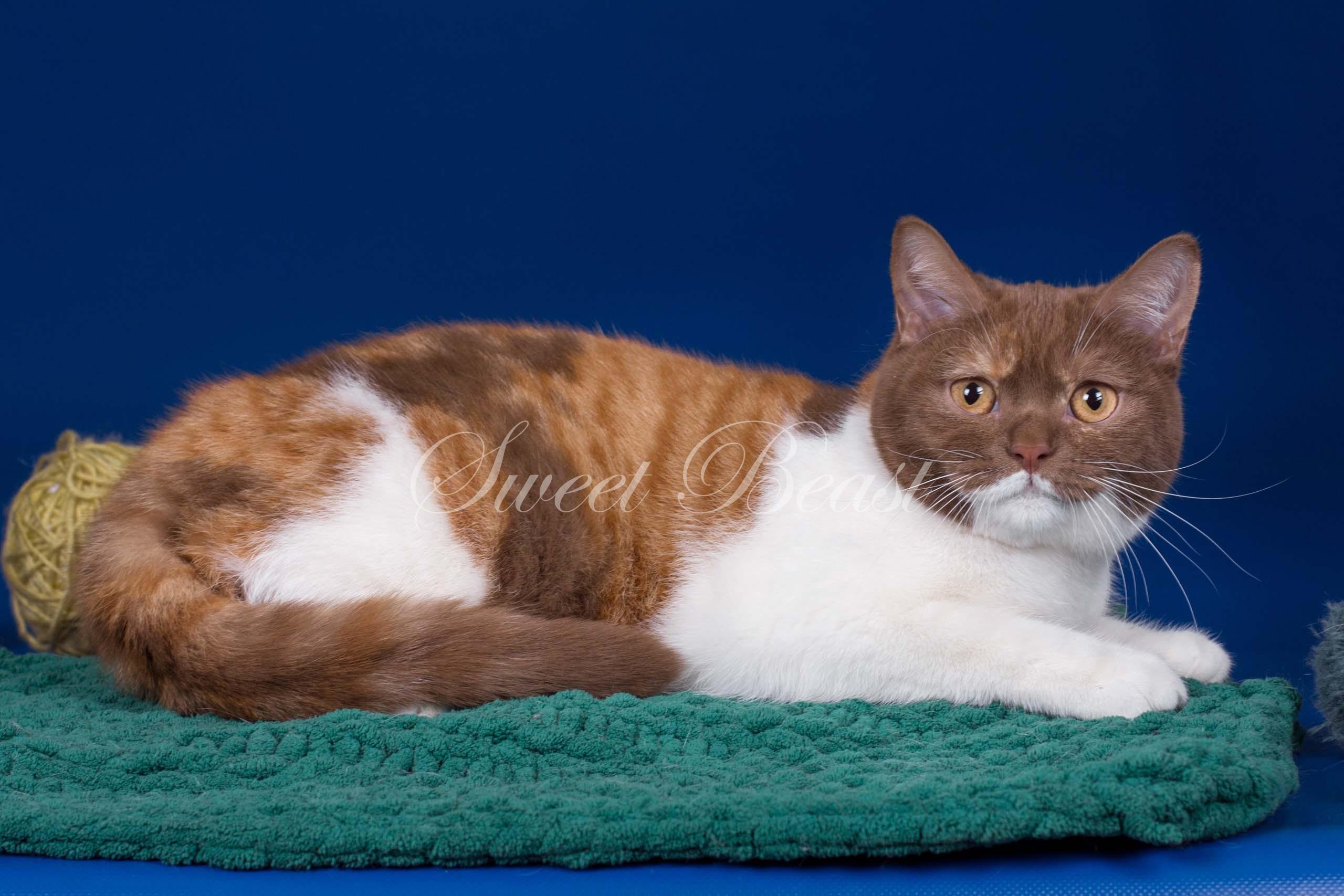 Sweet-beast com | British Shorthair | Kittens
